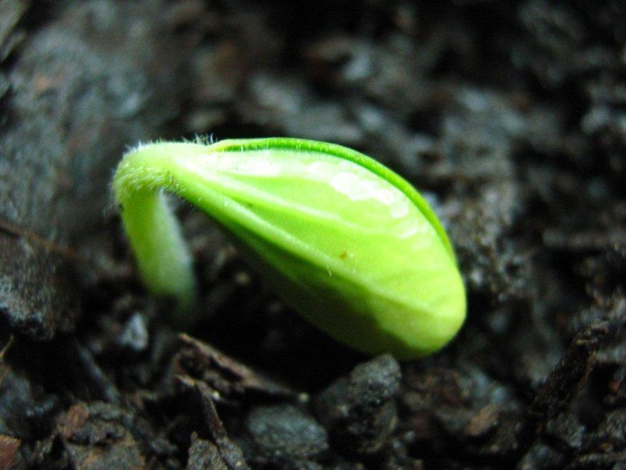 brote-de-planta-creciendo