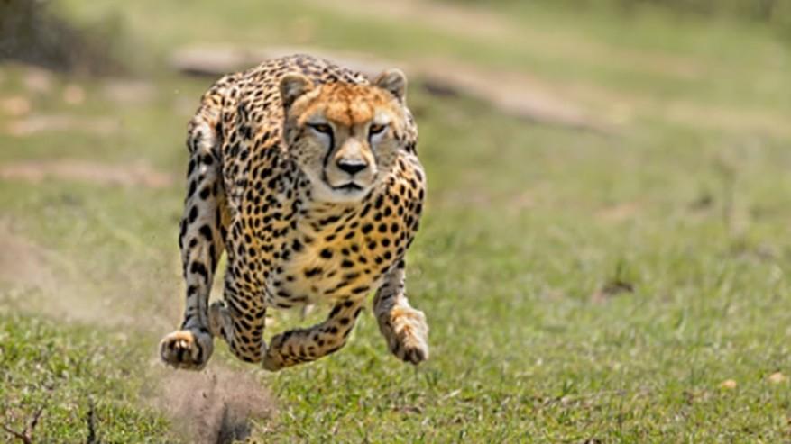 guepardocorriendo
